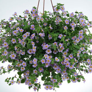Perennials_sutera_cordata_boutique_tie-dye_blue.full