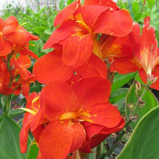 Cannas_canna_generalis_south_pacific_scarlet_hybrid.full