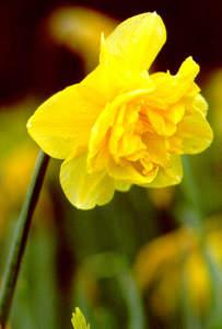 Daffodil, Wild Tenby