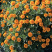 Marigolds_tagetes_patula_mowgli_orange.thumb