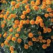 Marigolds_tagetes_patula_mowgli_orange.thumb