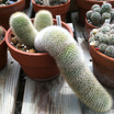 Cacti_and_succulents_mammillaria_pilcayensis.thumb