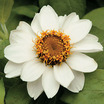 Zinnias_zinnia_marylandica_zahara_white.thumb