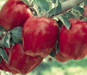 Apple Tree, Semi-dwarf 'Starkrimson® Red Delicious'