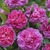 Modern_roses_rosa_england_s_rose_auslounge.small