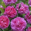 Modern_roses_rosa_england_s_rose_auslounge.thumb