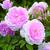Modern_roses_rosa_lady_salisbury_auscezed.small
