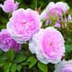 Modern_roses_rosa_lady_salisbury_auscezed.thumb
