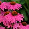 Purple_coneflower_echinacea_purpurea_powwow_wild_berry-2.medium.thumb