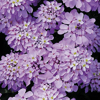 Perennials_iberis_candy_cane_lilac.full
