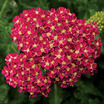 Yarrow_achillea_desert_eve_deep_rose.thumb