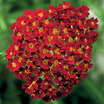 Yarrow_achillea_desert_eve_red.thumb