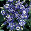 Columbine_aquilegia_winky_blue_white.thumb