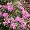 Hedges_rhododendron_amy_cotta.thumb