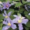 Clematis_clematis_integrifolia_arabella.thumb