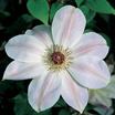 Clematis_clematis_dawn.thumb