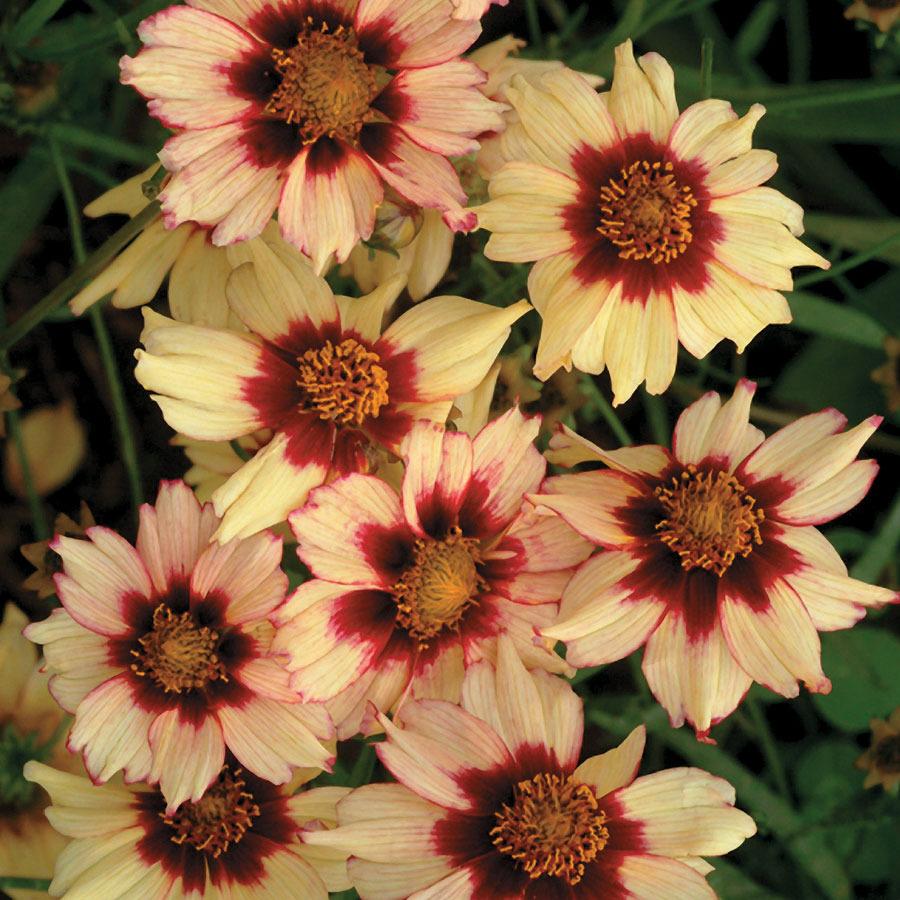 Coreopsis_coreopsis_autumn_bush.full