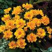 Coreopsis 'Solana Golden Ball'