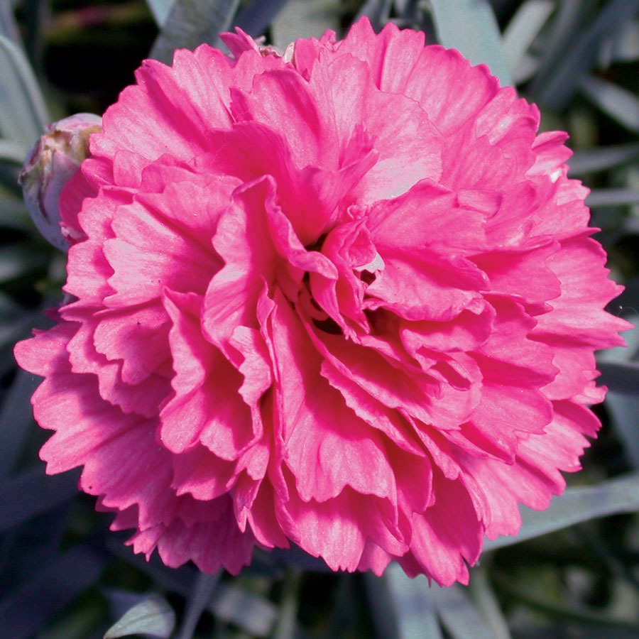Dianthus_dianthus_early_bird_sherbet.full