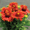 Gaillardia_gaillardia_gallo_fire.thumb