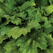Coral Bells, Kira™ 'Green Tea'
