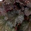 Coral_bells_coral_bells_kira_oak_forest.thumb