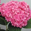 Hydrangeas_hydrangea_double_delights_perfection.thumb