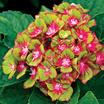Hydrangeas_hydrangea_next_generation_pistachio.thumb