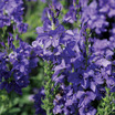 Speedwell_veronica_knallblau_upright.thumb