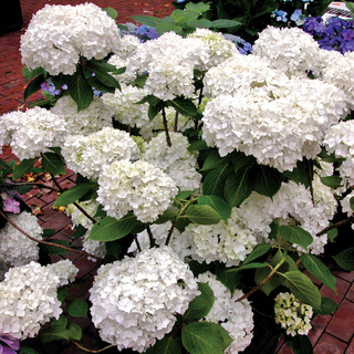 'Next Generation Snow Storm' Hydrangea
