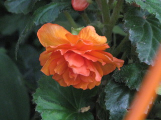 orange begonias make me smile