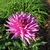 Dahlias_dahlia_herbert_smith-3.small