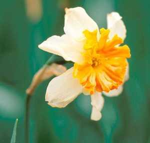 Daffodil, Split-corona 'Parisienne'