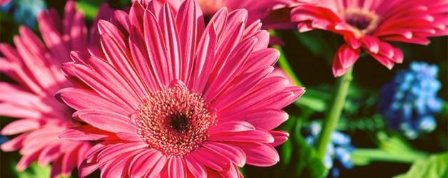 3545_pinkdaisy-628x250.full