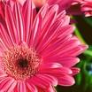 3545_pinkdaisy-628x250.thumb