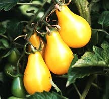 Tomato, Cherry Yellow Pear (American Heirloom, Early 1900's)