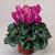 Cyclamen: Cyclamen Persicum, 'Sierra™ Lilac'