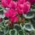 Cyclamen_cyclamen_persicum_silverado_tm_rose-1.small