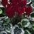 Cyclamen_cyclamen_persicum_silverado_tm_wine-1.small