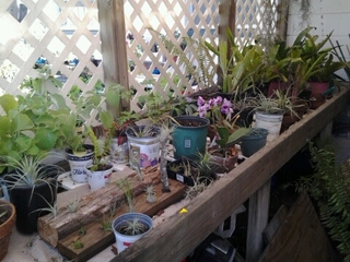 My flower room with  some air plants 2017
