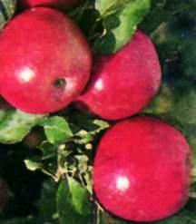 Apple Tree, Miniature Stark® Colonnade® 'Stark Crimson Spire'™