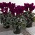 Cyclamen_cyclamen_persicum_sterling_tm_purple-1.small