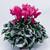 Cyclamen_cyclamen_persicum_sterling_tm_rose-1.small