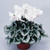 Cyclamen_cyclamen_persicum_sterling_tm_white-1.small