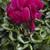 Cyclamen_cyclamen_persicum_winter_ice_tm_purple-1.small