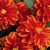 Dahlias_dahlia_x_hybrida_hello_tm_bronze_shades-1.small
