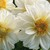 Dahlias_dahlia_x_hybrida_hello_tm_white-1.small