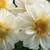 Dahlias_dahlia_x_hybrida_hello_tm_white-1.small