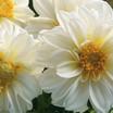 Dahlias_dahlia_x_hybrida_hello_tm_white-1.thumb