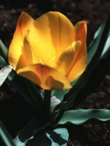 Tulips_tulipa_batalinii_bright_gem-1.full